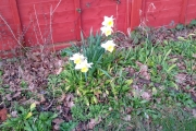 The first flowers of spring - in early Feb!