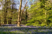 Gorgeous bluebell wood