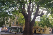 Beautiful old tree and square in Bath