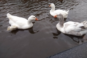 The boat-pecking geese