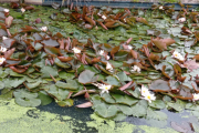 Lots of lilies, too
