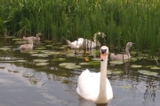 I fed this swan family then the Dad hissed at me!