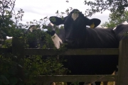 The nosey cow!
