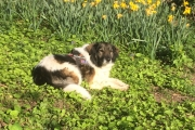 Sal relaxing amongst the daffodils
